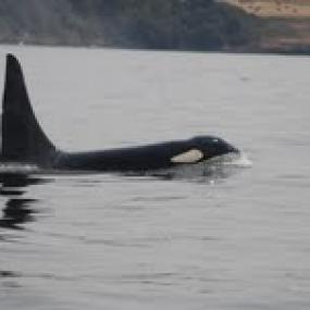 Killer whale (Orcinus orca). Photo by Joseph Gaydos.