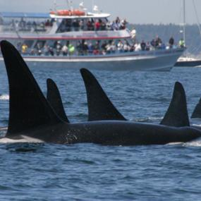 Southern Resident killer whales and boats. Photo courtesy of NOAA