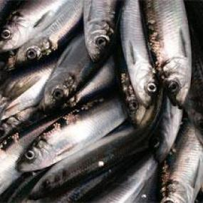 Pacific herring (Clupea pallasii). Image courtesy of NOAA.