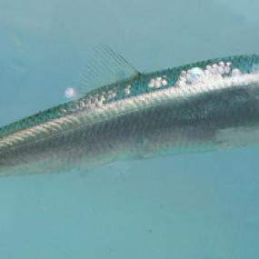 Pacific herring. Photo courtesy of NOAA.
