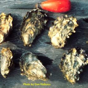 Pacific Oyster (Crassostrea gigas). Photo by Don Rothaus, courtesy of the Washington Department of Fish and Wildlife.