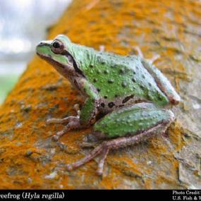 Pacific Treefrog; photo by James Bettaso, U.S. Fish and Wildlife Service