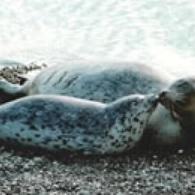 Harbor seal (Phoca vitulina). Photo courtesy of WDFW.