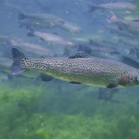 Steelhead (Oncorhynchus mykiss). Photo: Eric Engbretson, U.S. Fish and Wildlife Service