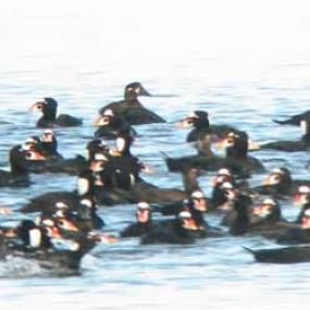 Surf scoters in Padilla bay, seen through a spotting scope. Photo from the Washington Department of Ecology.