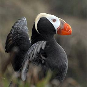The Tufted Puffin is among 125 species of concern found in the Salish Sea. Photo: Peter Hodum.