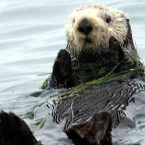 Figure 1. Sea otter (photo by USFWS).