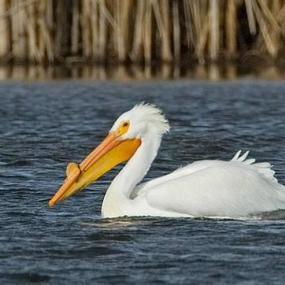 American White Pelican, Grant County. Photo by Joe Higbee.