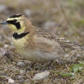 Streaked horned lark. Photo by Rod Gilbert.
