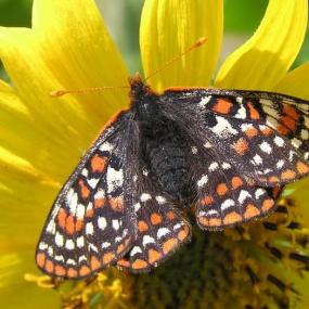 Taylor's checkerspot. Photo by D. Stinson.