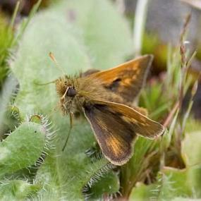Mardon skipper. Photo by Rod Gilbert.