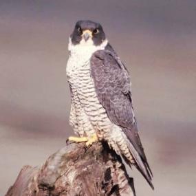 Peregrine falcon. Photo by Brian Caven.
