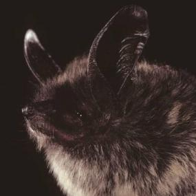 Keen's myotis. Photo by Bat Conservation International.