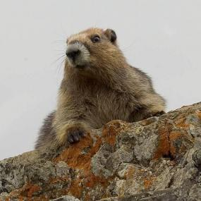 Figure 1. Olympic marmot. Photo by Rod Gilbert.