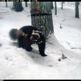 Wolverine (Gulo gulo). Photo: Washington Department of Fish and Wildlife