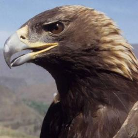 Golden eagle. Photo by Jim Watson.