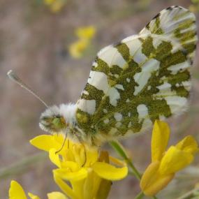 Island marble perched on the host, field mustard (Brassica campestris). Photo by Thor Hansen.