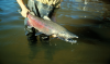 Chinook salmon (Oncorhynchus tshawytscha). Image courtesty U.S. Fish and Wildlife Service.