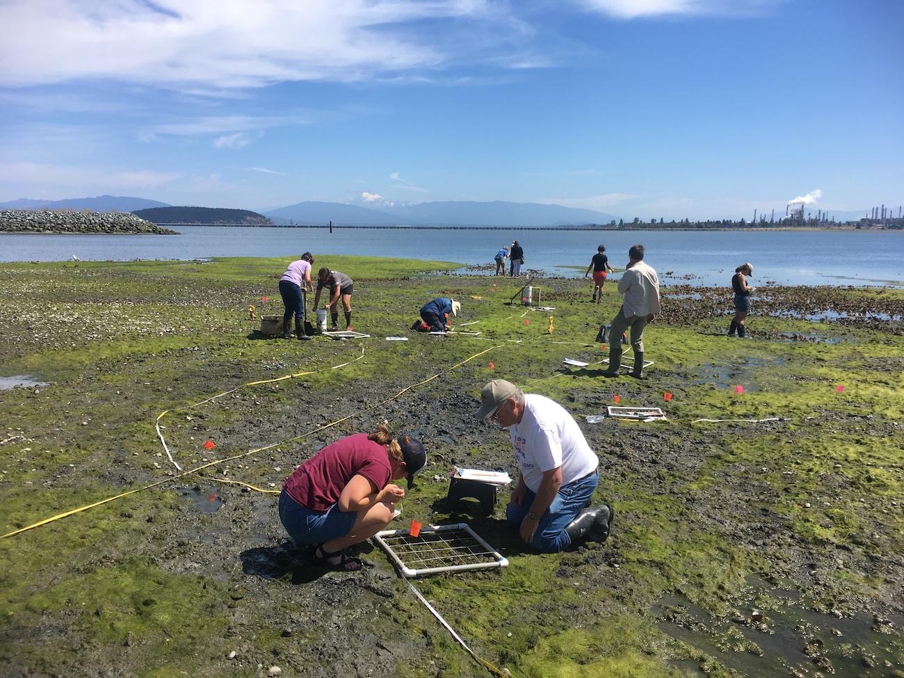 Fidalgo Bay Citizen's Stewardship Committee volunteers conduct intertidal monitoring surveys during low tide at Fidalgo Bay Aquatic Reserve. Photo: Erica Bleke/DNR