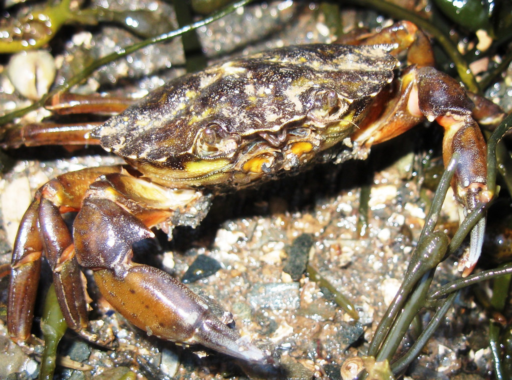 Carcinus maenas. Photo: Brent Wilson (CC BY-NC-SA 2.0) https://www.flickr.com/photos/59048895@N06/5409329320/