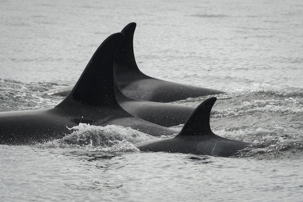 A group of southern resident killer whales swimming together near San Juan Island. Photo: Katy Foster/NOAA Fisheries, under permit 18786