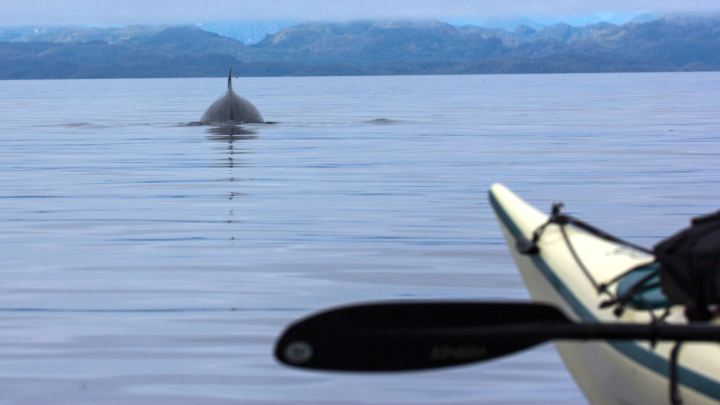 Minke whale ahead of a kayaker