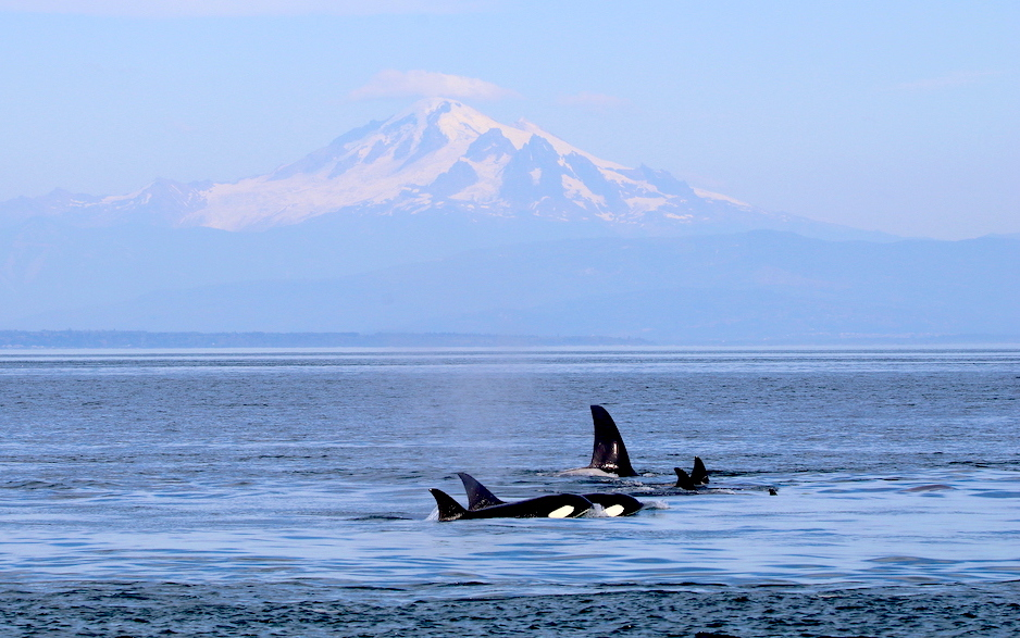 A group of southern resident orcas swimming near San Juan Island. Photo: Rene Leubert (CC BY-NC 2.0) https://flic.kr/p/V4EERj