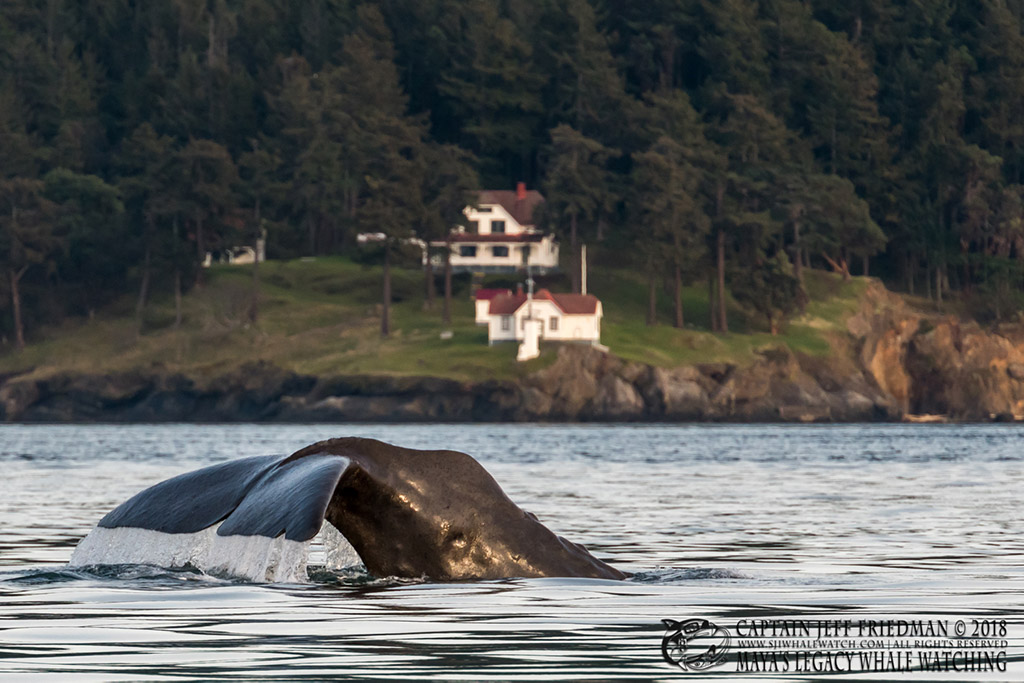 Yukusam the sperm whale in Haro Strait off of Turn Point Lighthouse, Stuart Island, WA. March 2018. Photo: Copyright Jeff Friedman, Maya's Legacy Whale Watching (used with permission) http://sanjuanislandwhalewatch.com/first-ever-sperm-whale-san-juan-islands/