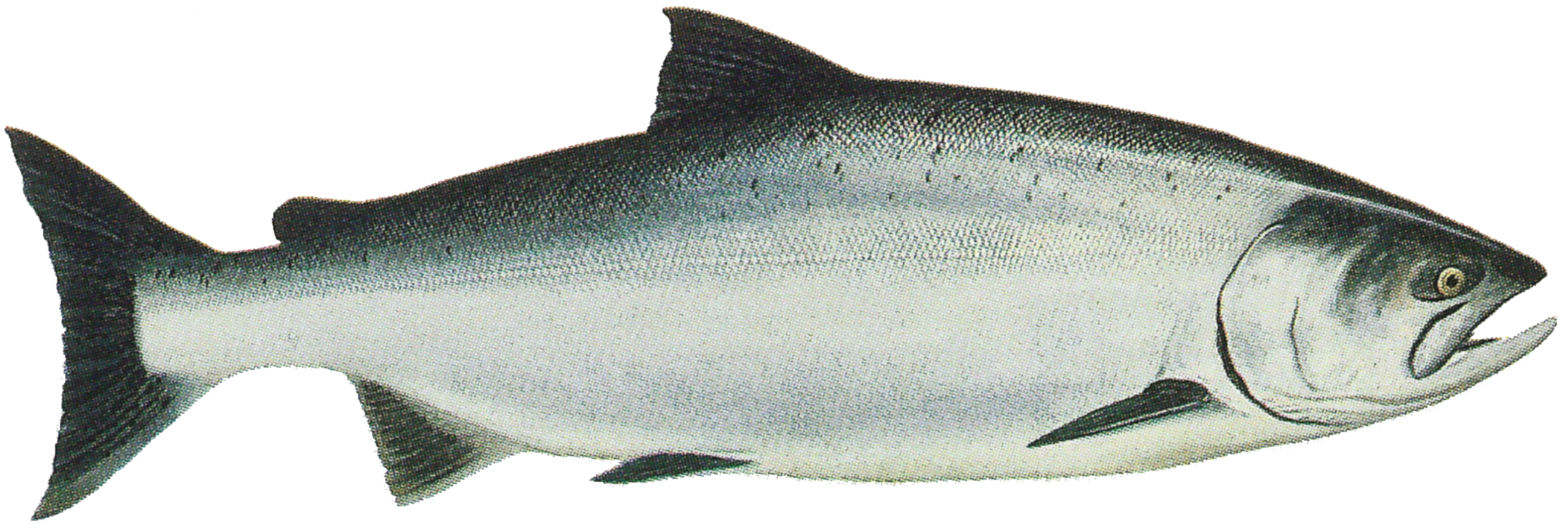Noaa report establishes chinook monitoring framework for How to fish for salmon