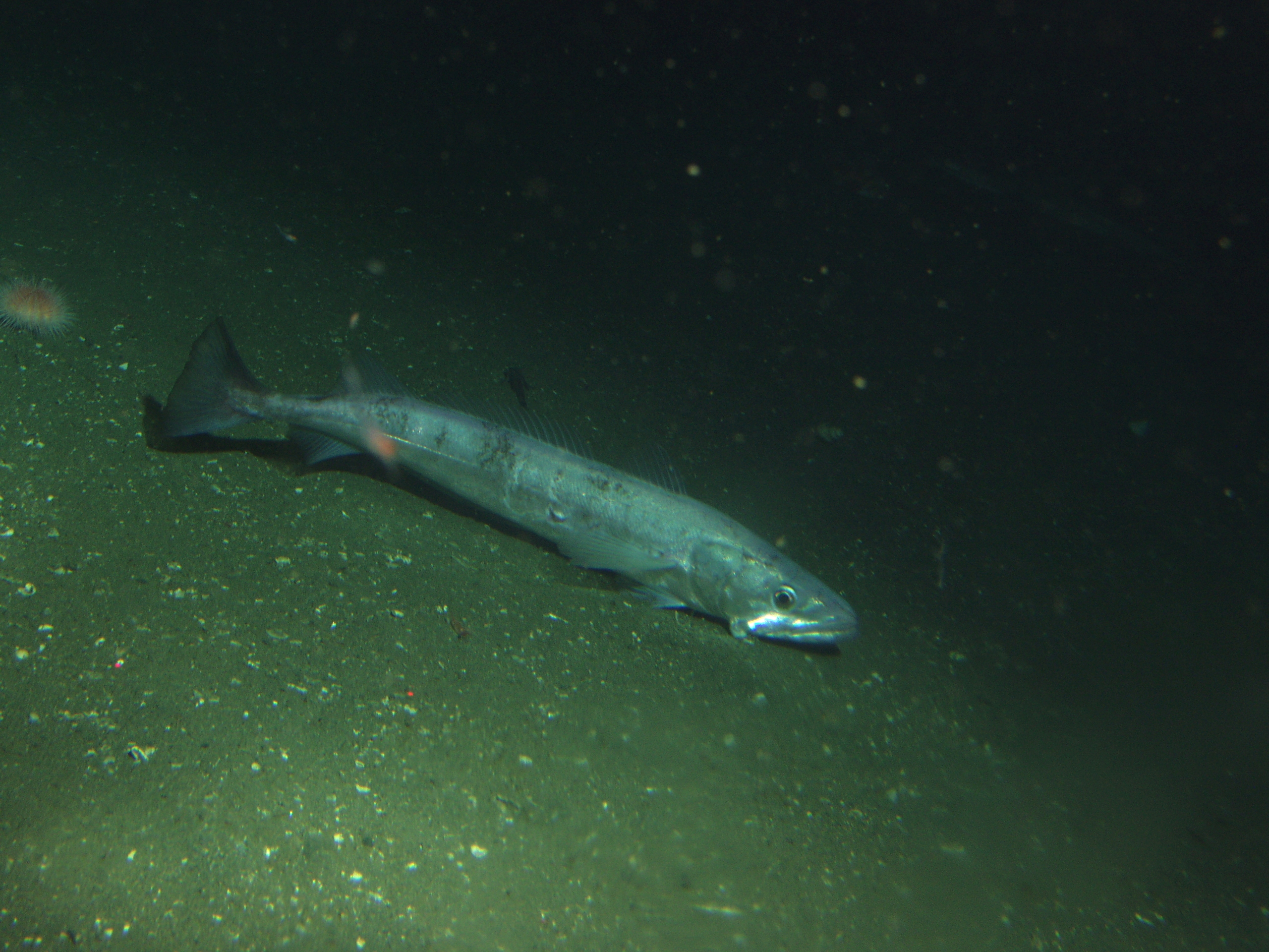 Bentho pelagic fish in puget sound encyclopedia of puget for Puget sound fishing