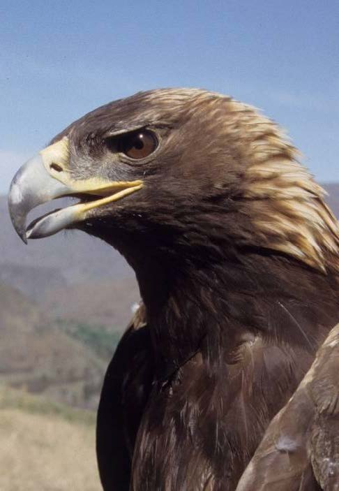 Golden Eagle  Aquila Chryseatos