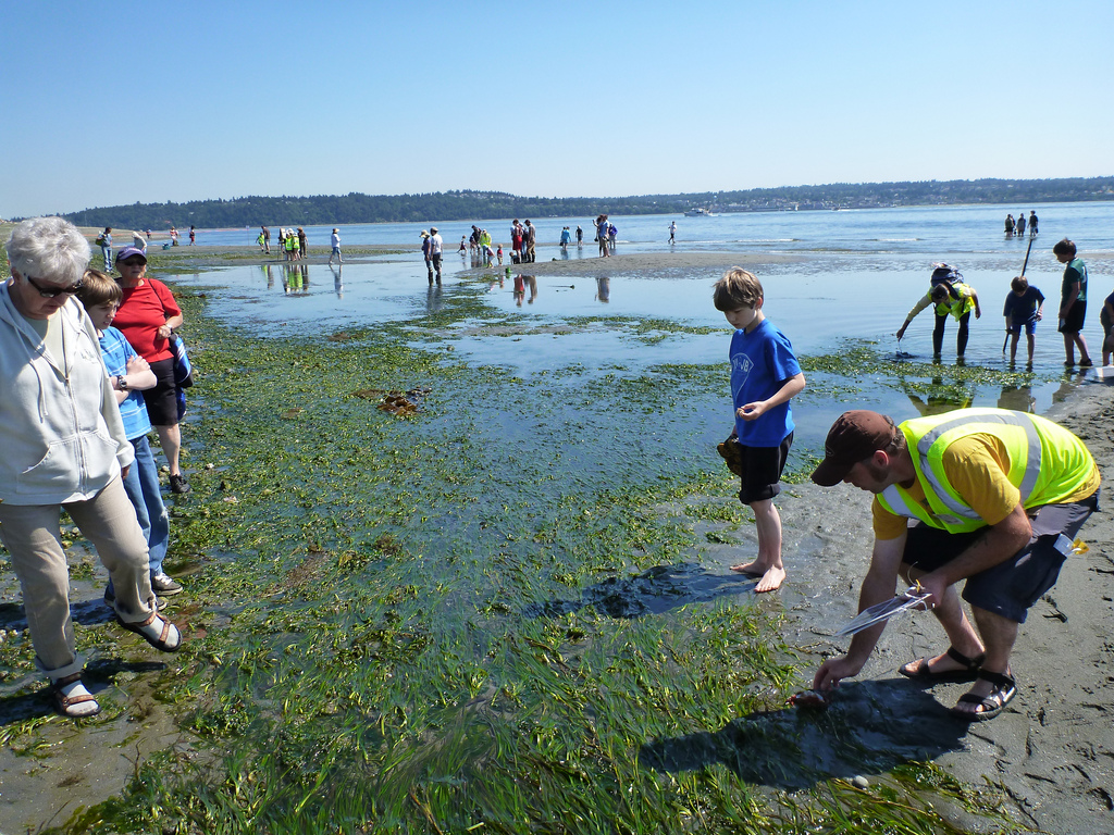 Shedding new light on eelgrass recovery encyclopedia of puget sound maury vashon island low tide celebration photo kyle murphydnr cc by nc nd 20 httpsflickrphotoswastatednr6003660420 nvjuhfo Choice Image