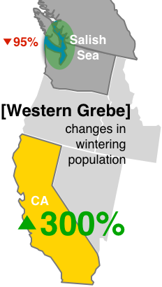 Graphic: Western Grebes wintering in the Salish Sea have declined by 95% while California populations have increased by 300%
